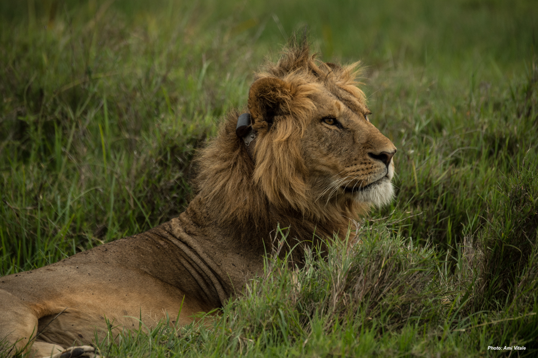 Lion on Lewa