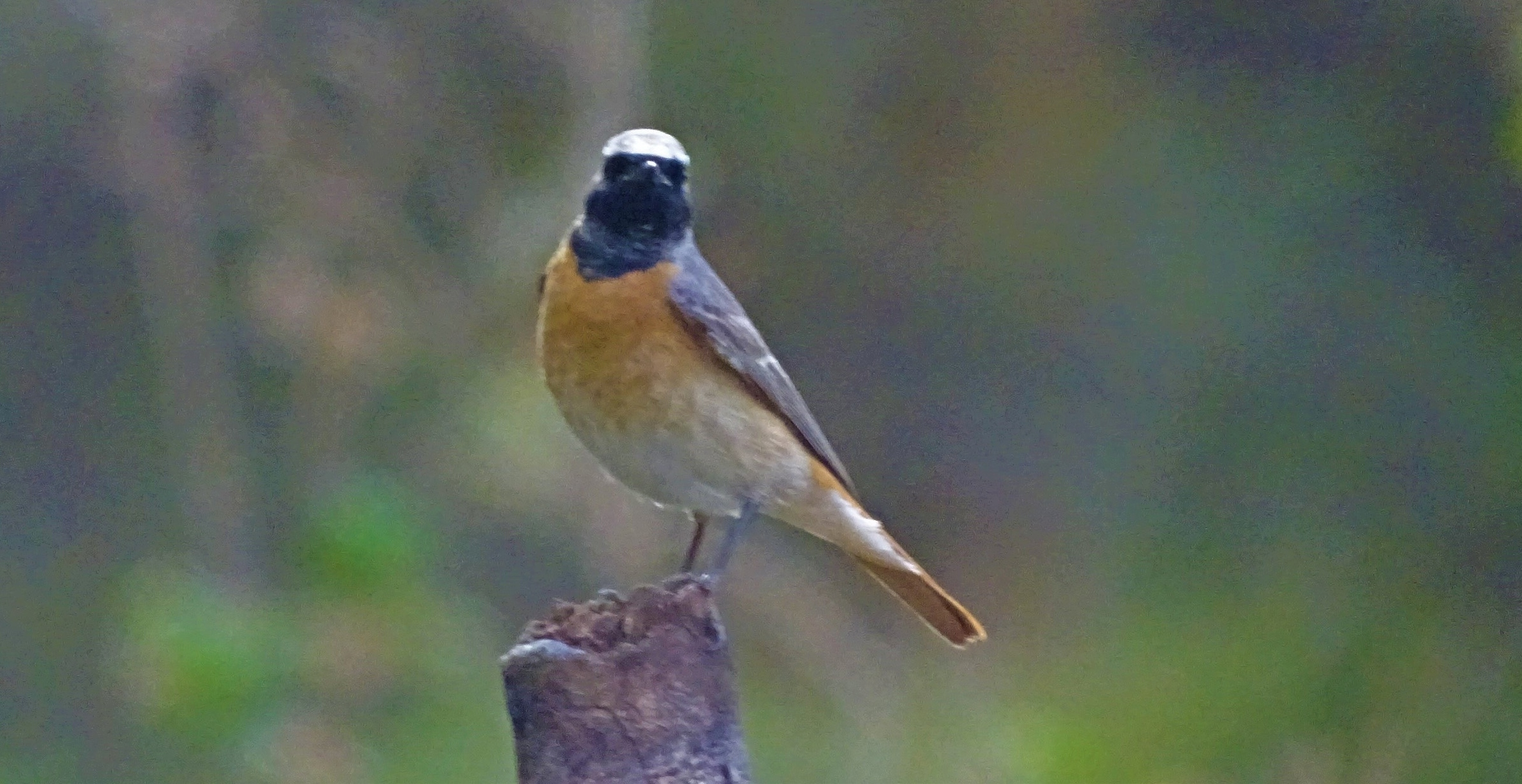 Flying High – the Common Redstart Spotted on Lewa and Scaling our Avifauna Research